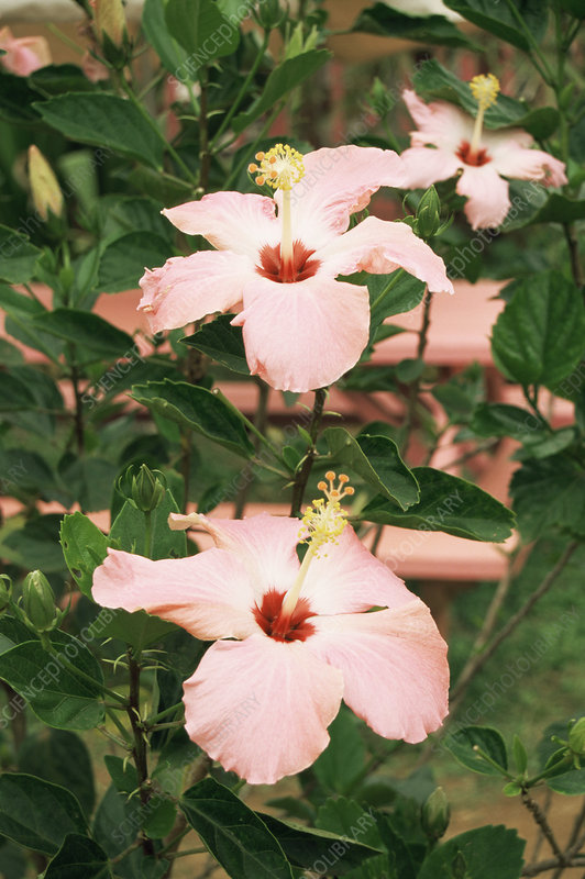 Rosemallow (Hibiscus sp.)