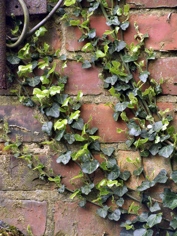 Common ivy (Hedera helix)