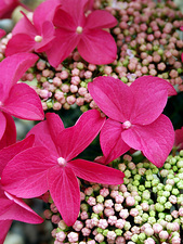 Hydrangea 'Lady in Red'