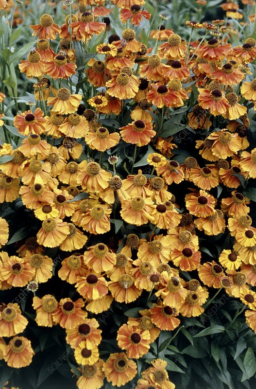 Helenium 'Sahin's Early Flower'