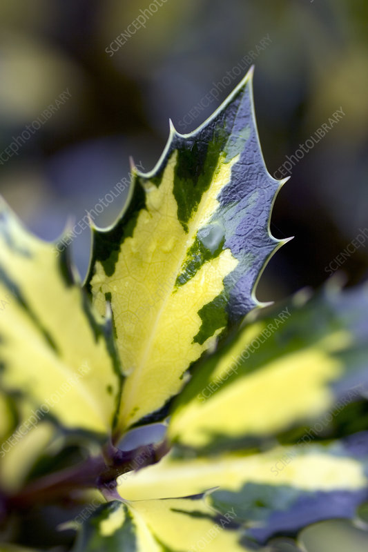 Holly leaves (Ilex aquifolium)
