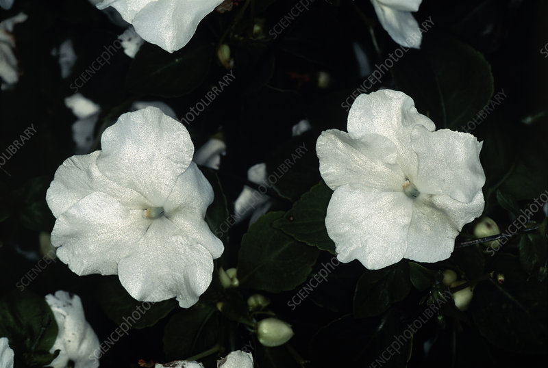 Busy lizzie (Impatiens 'Expo White')