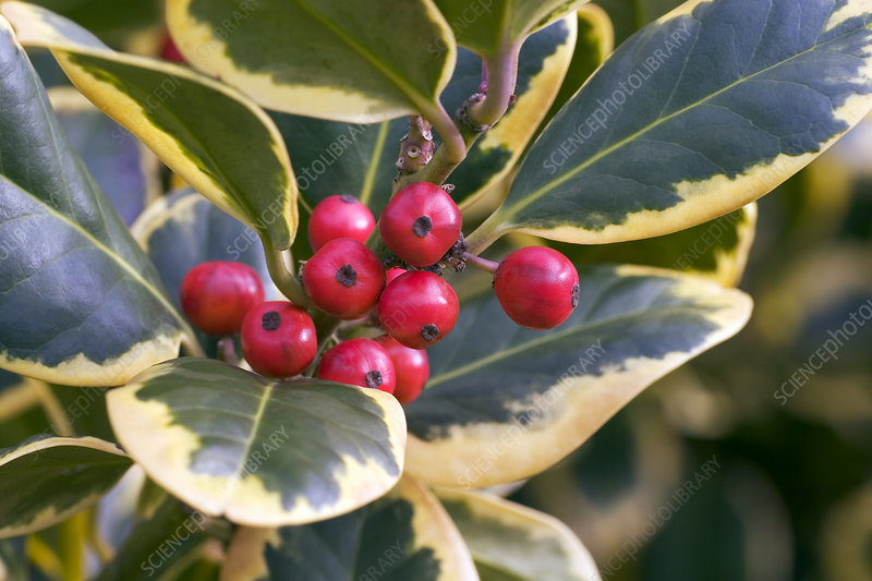 Holly (Ilex 'Golden King')