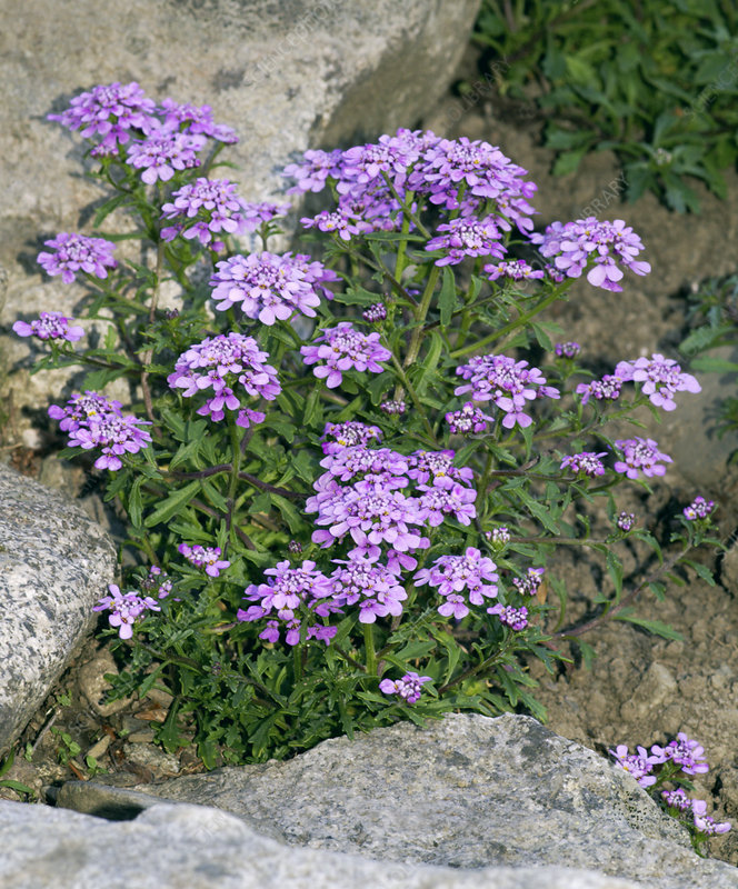 Spoon-leaved candytuft, Iberis spathulata