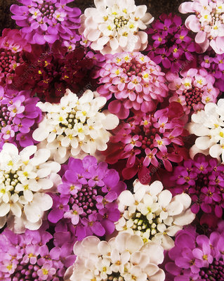 Candytuft (Iberis sp. 'Fairy Mixture')