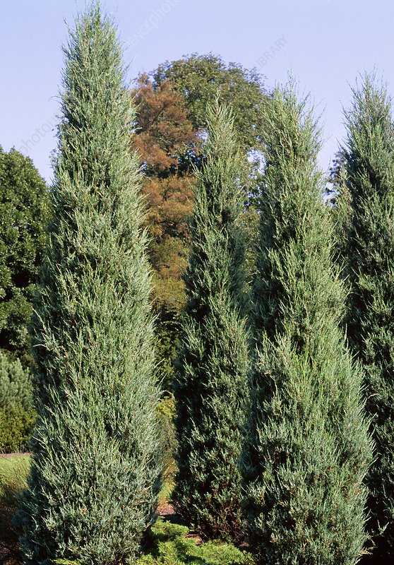 Juniperus virginiana SKYROCKET.
