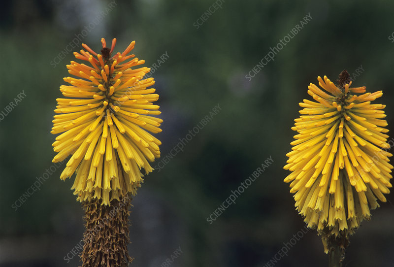 Red hot poker (Kniphofia 'Dorset Sentry')