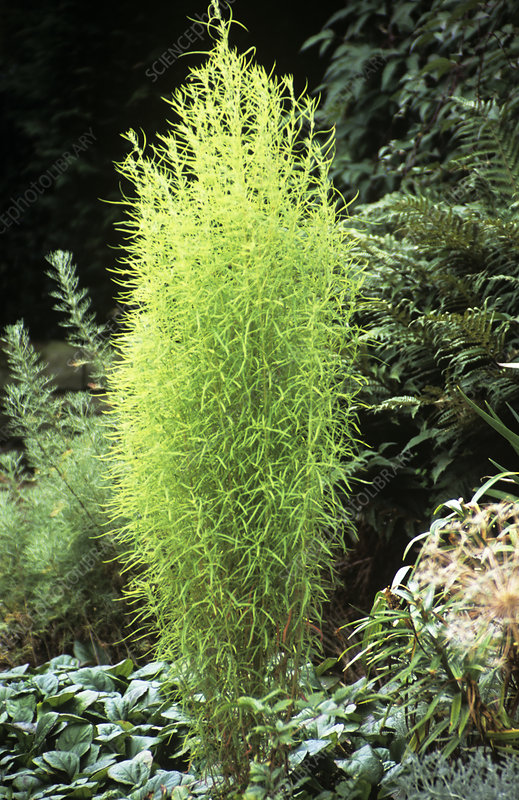 Summer cypress (Kochia scoparia)