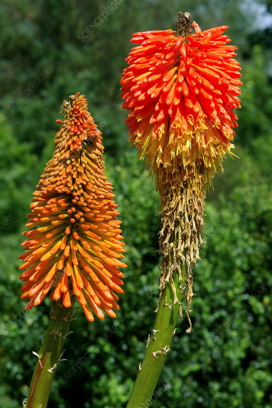 Red hot poker (Kniphofia uvaria 'Noblis')