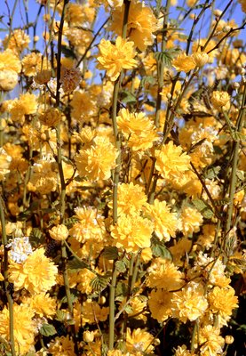 Jew's mantle (Kerria japonica)
