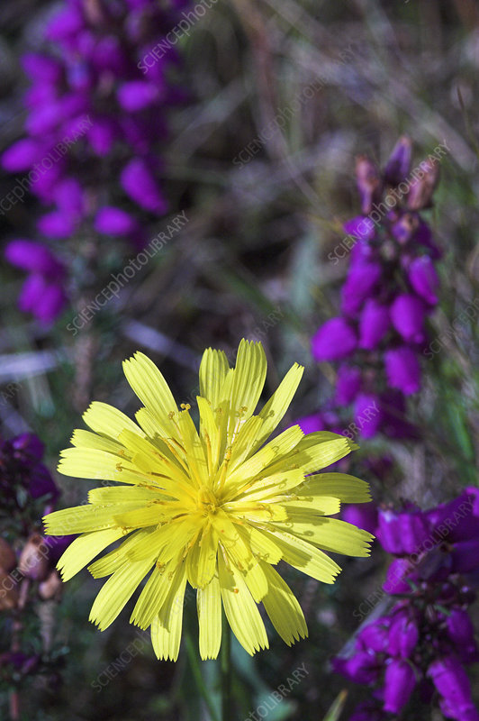 Autumn hawkbit (Leontodon autumnalis)