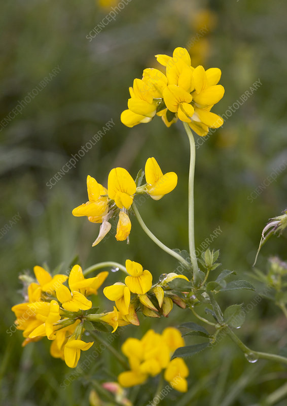 Greater bird's foot trefoil