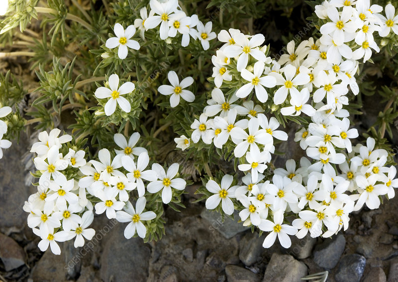 Nuttall's linanthus (Linanthus nuttallii)
