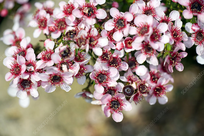 Tea tree (Leptospermum scoparium)