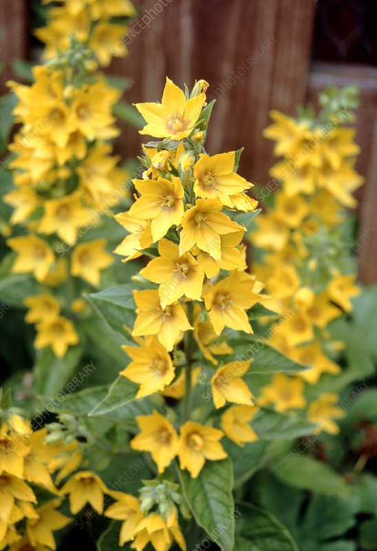 Yellow loosestrife (Lysmachia vulgaris)