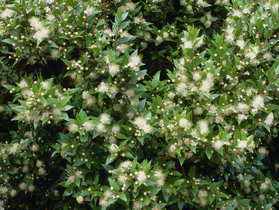 Commonmyrtle Flowers on Myrtus Communis   Stock Image B824 0950   Science Photo Library