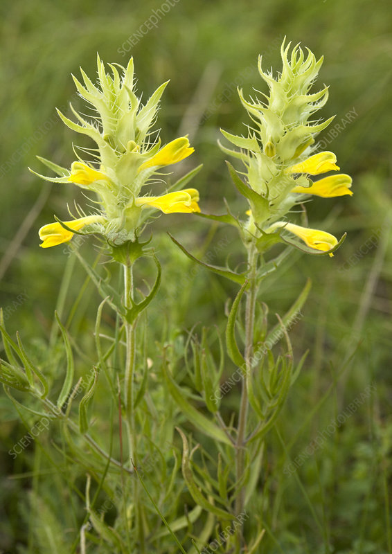 Cow-wheat (Melampyrum barbatum)