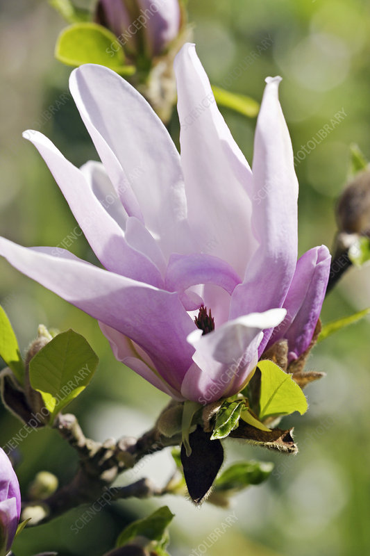 magnolia stellata 39 george henry kern 39 stock image b824. Black Bedroom Furniture Sets. Home Design Ideas