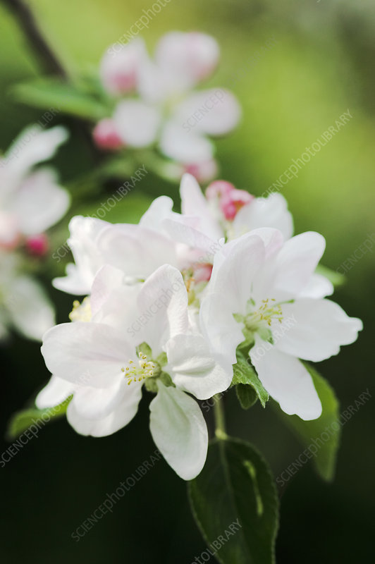 Apple blossom (Malus sp.)