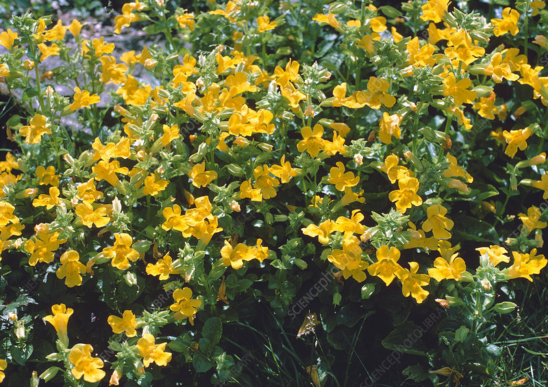 Common monkey flower (Mimulus guttatus)