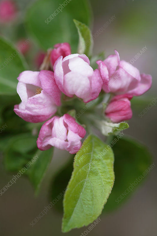 Apple blossom (Malus x domestica)