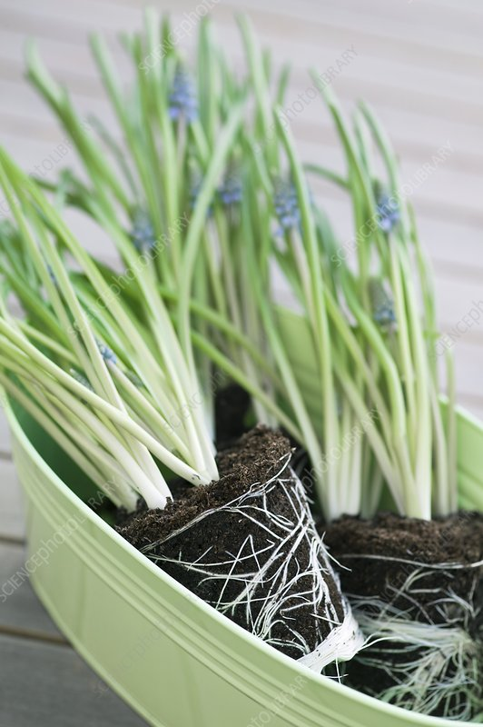 Grape hyacinth plants ready for planting