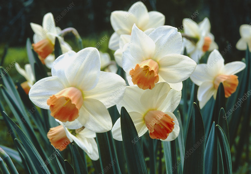 Narcissus Salome.