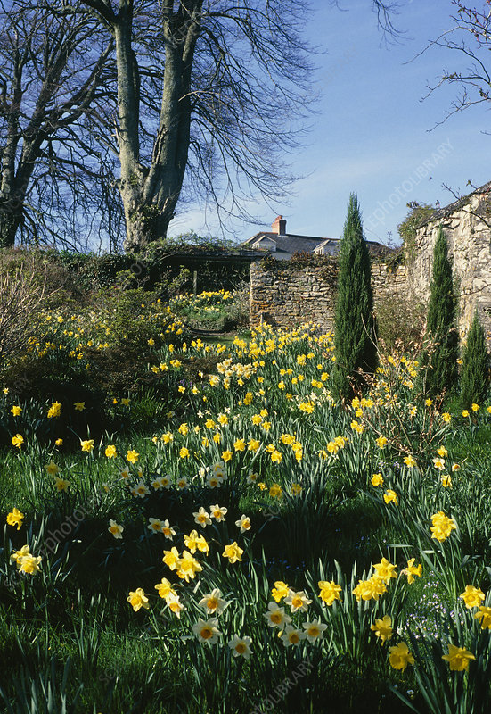 Naturalised Daffodils
