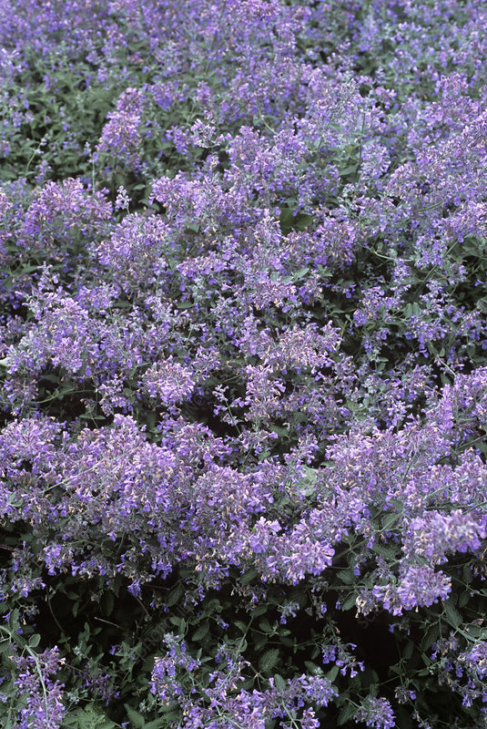 Catmint (Nepeta 'Six Hills Giant')