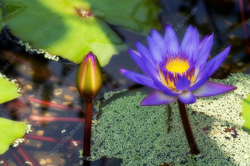 Waterlily (Nymphaea sp.)