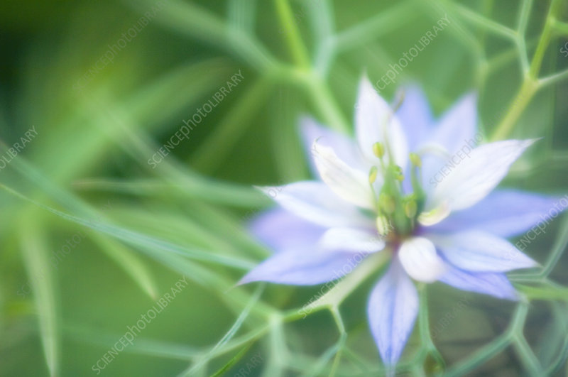 Love in a mist (Nigella sativa)