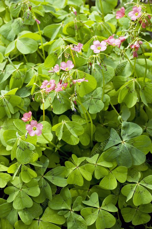 Mexican wood-sorrel (Oxalis tetraphylla)