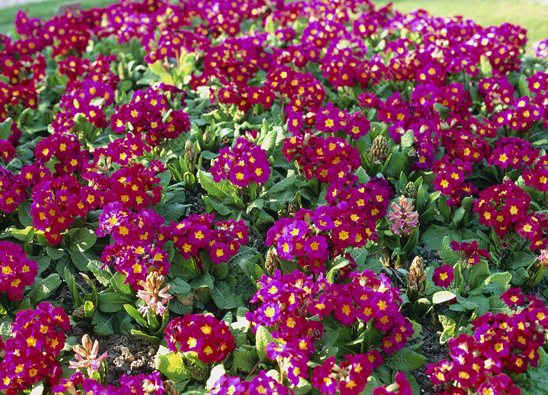 Primula Crescendo Series ROSE SHADES