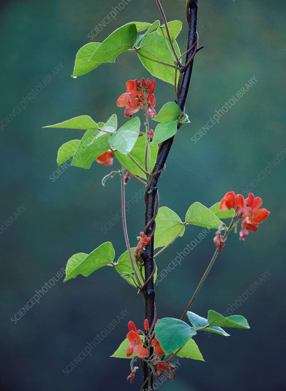 Flowering runner bean plant