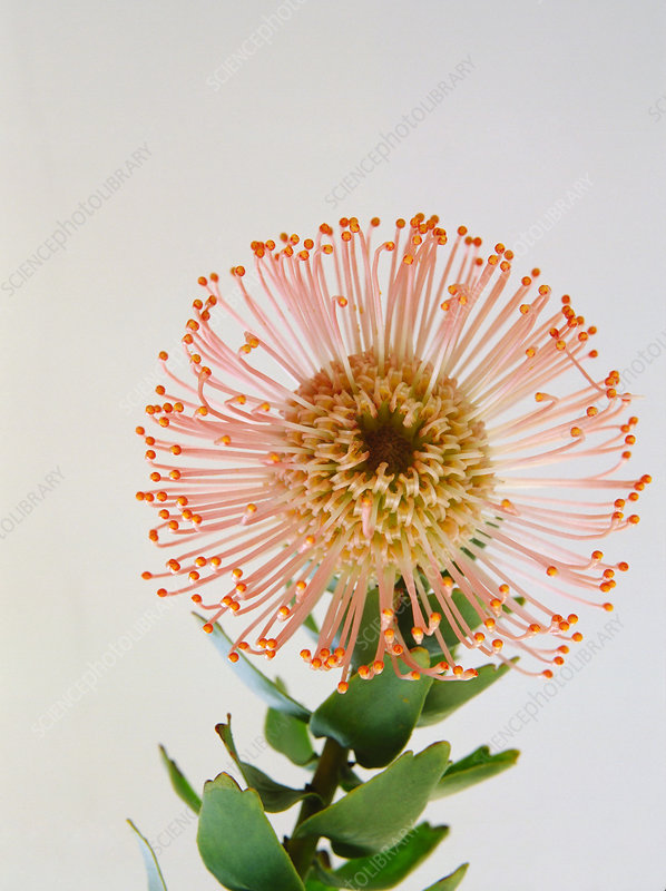 Pincushion flowerhead