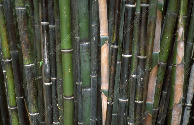 Black bamboo stems