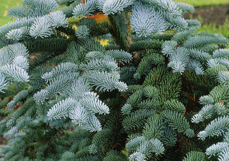 Abies procera Glauca Group