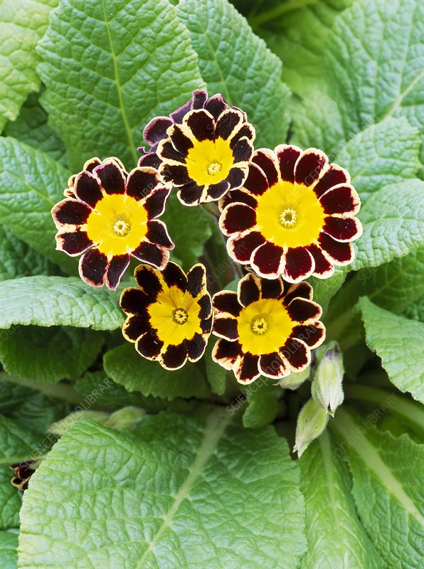 Primula Gold Laced Group