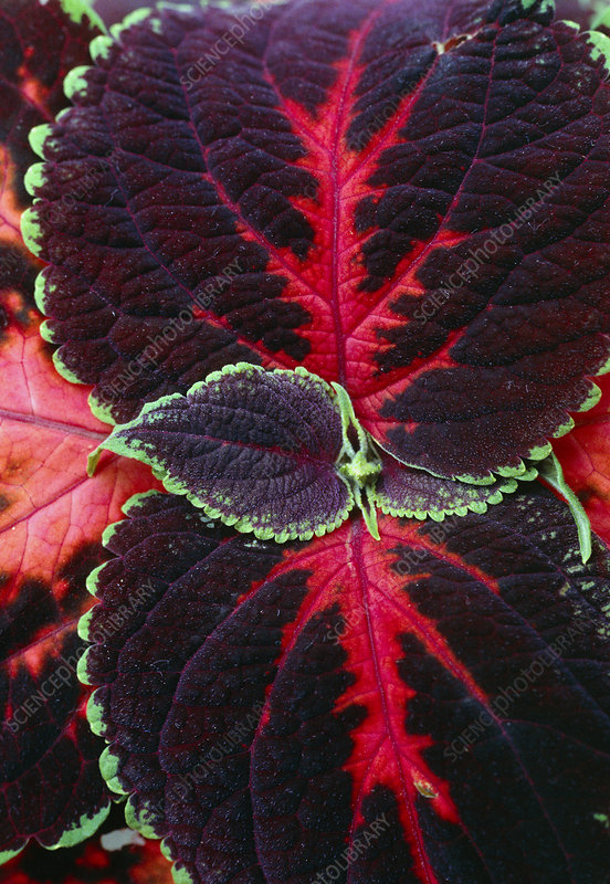 Painted leaf Plant Flame nettle leaf deta