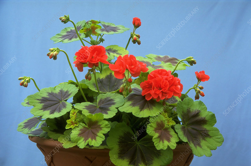 Pelargonium Occold Shield