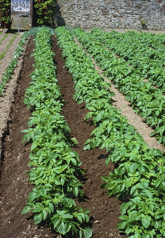 Potatoes in Growing Rows