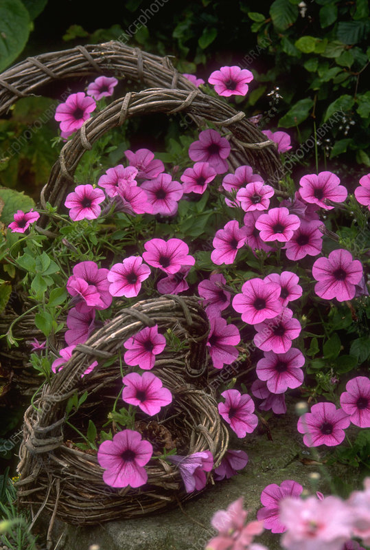 Petunia Surfinia Pink in wicker baskets