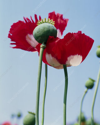 Papaver somniferum Victoria Cross Heritage