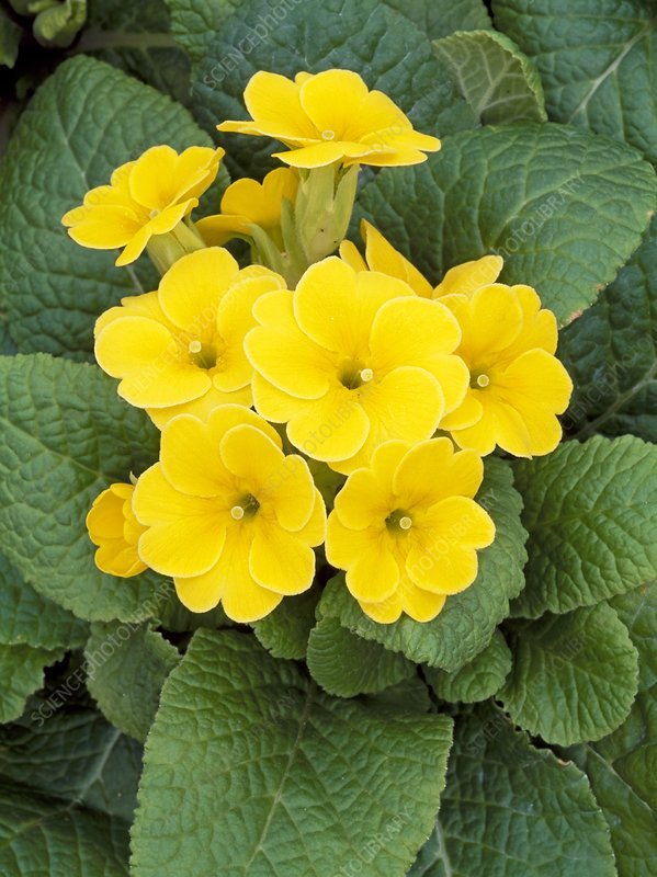 Primula Yellow Dream
