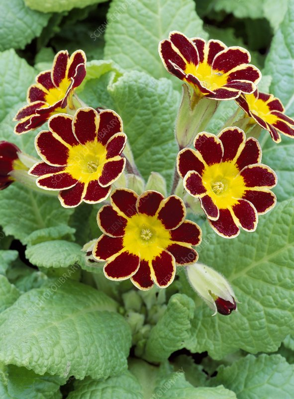 Primula 'Tapestry'