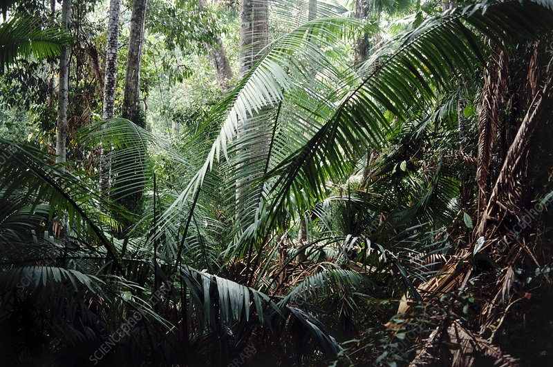 Palms in rainforest