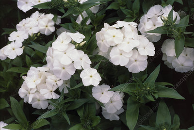 Phlox drummondii Beauty Series