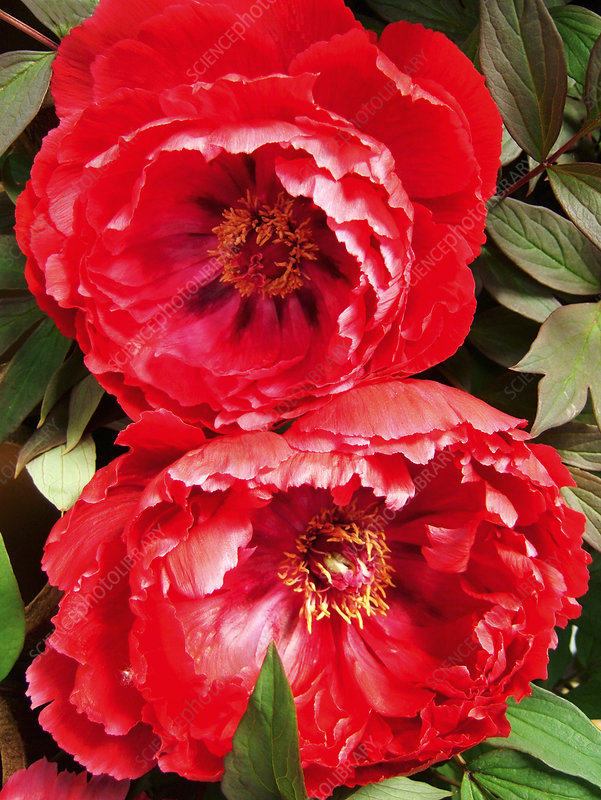 Tree peony 'Glory of Huish'