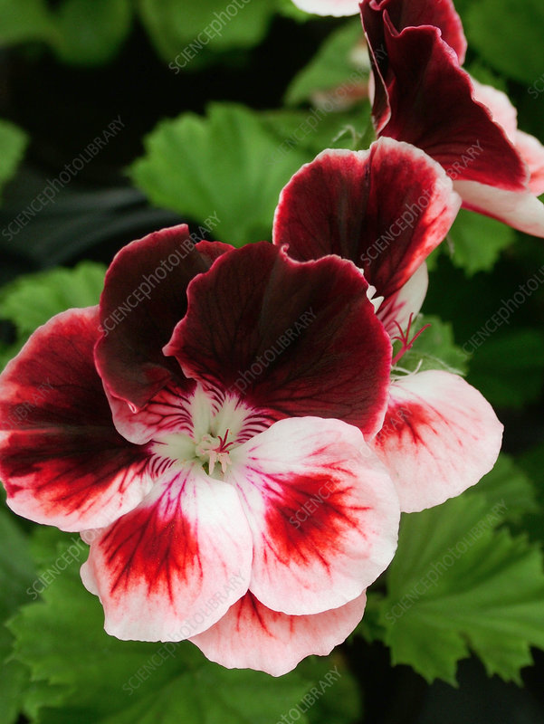Regal pelargonium 'Turkish Coffee'