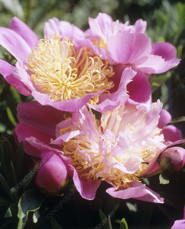 Peony (Paeonia 'Globe of Light')